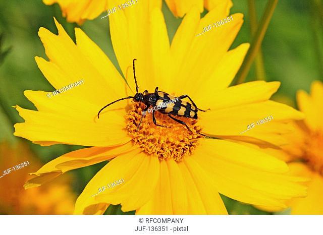 beetle on blossom / Leptura quadrifasciata