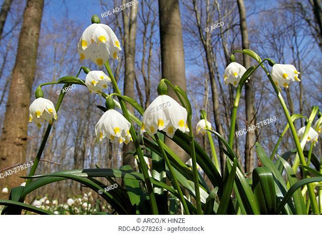 Spring Snowflakes, Oderwald, Lower Saxony, Germany / Leucojum vernum / Wolfenbüttel