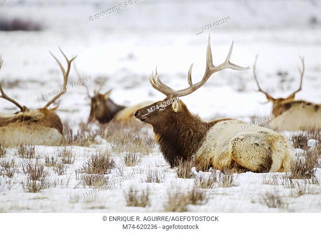 Elk, a.k.a. Wapiti deer (Cervus canadensis), National Elk Refuge, Flat Creek, Grand Teton NP, Wyoming, USA