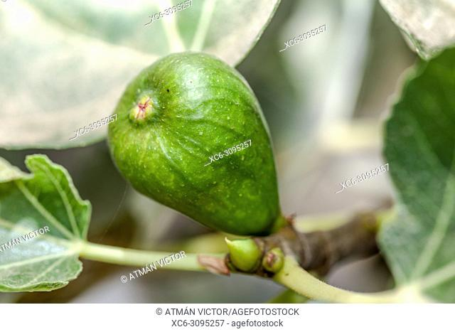unripe fig fruit