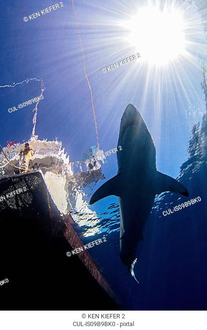 Shark swimming in sea under sunrays and boat