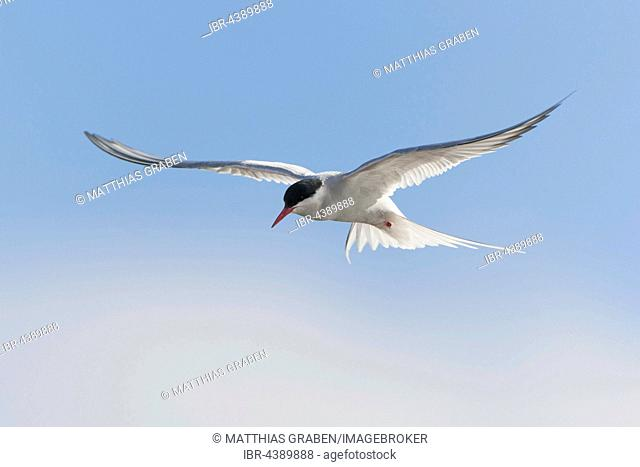 Arctic tern (Sterna paradisaea) in flight, Spitsbergen or Svalbard, Norway
