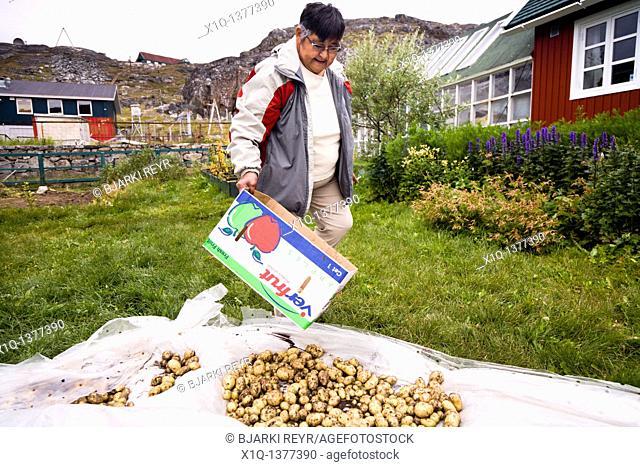 Woman in her garden, picking potatoes  Qaqortoq Julianehåb, South Greenland