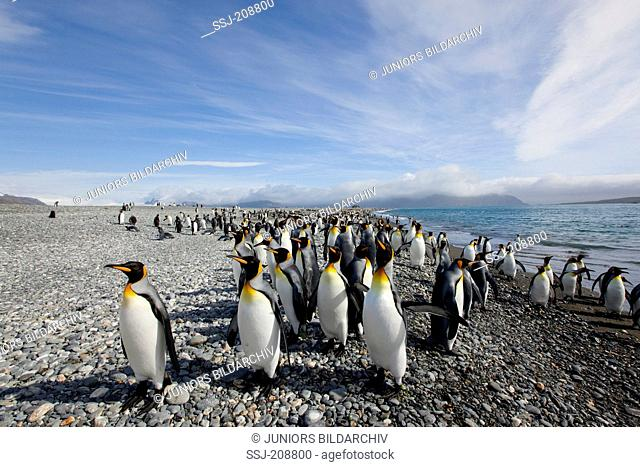 King Penguin (Aptenodytes patagonicus). Group on a rocky shore. Falkland Islands. No exclusive sales !