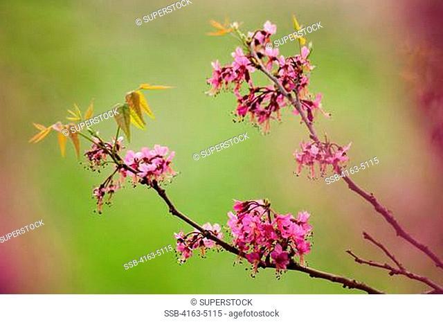 USA, TEXAS, HILL COUNTRY NEAR HUNT, MEXICAN-BUCKEYE TREE, Ungnadia speciosa, FLOWERS