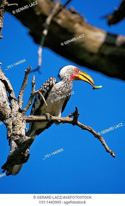 YELLOW BILLED HORNBILL tockus flavirostris, ADULT WITH CATERPILLAR IN BEAK, KENYA