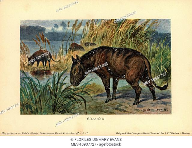 Merycoidodon or Oreodon, extinct genus of herbivore endemic to North America. Colour printed (chromolithograph) illustration by Heinrich Harder from Tiere der...