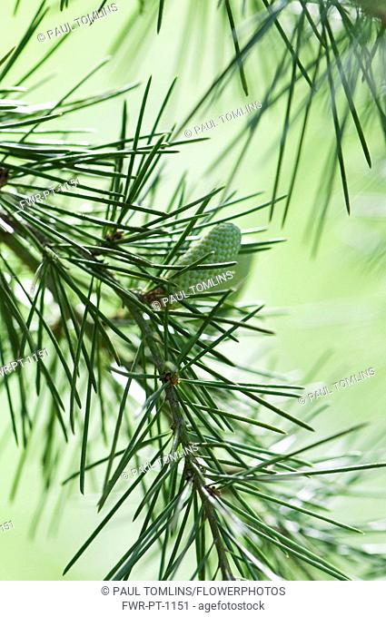 Deodar tree, Cedrus deodara, A cone hanging on a branch showing the fine needles