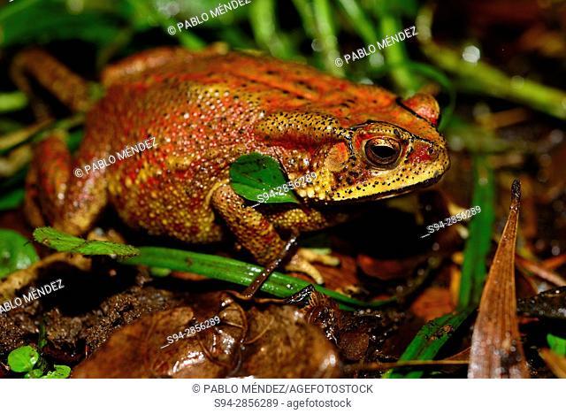Asian common toad (Duttaphrynus melanostictus) in Cotigao, Goa, India