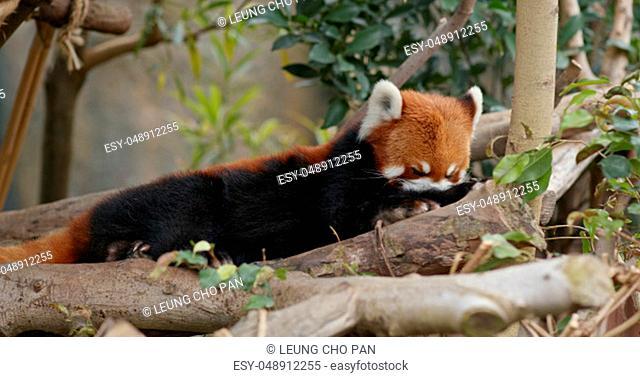Red panda at zoo park