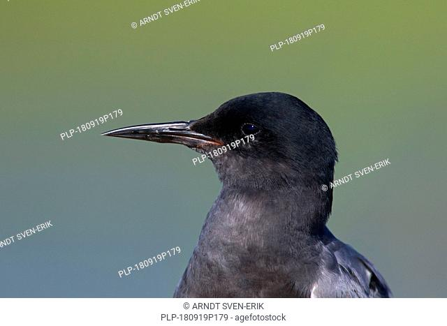 Close up portrait of black tern (Chlidonias niger) in breeding plumage in spring