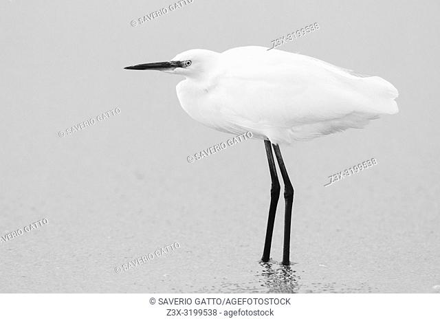 Little Egret (Egretta garzetta), side view of an individual standing on the shore