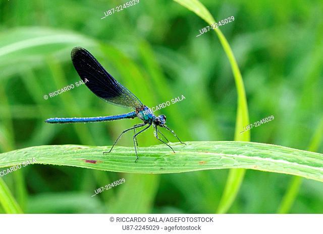 Italy, Lombardy, Banded Demoiselle, Calopteryx Splendens