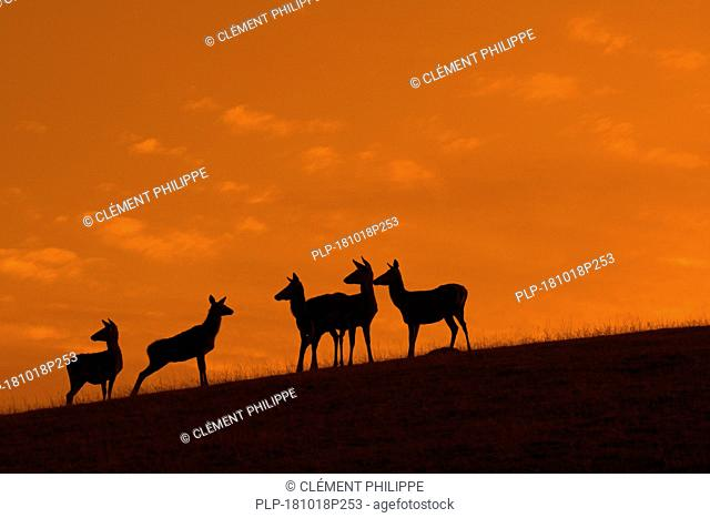 Red deer (Cervus elaphus) hinds / females with juveniles silhouetted against orange sunset sky