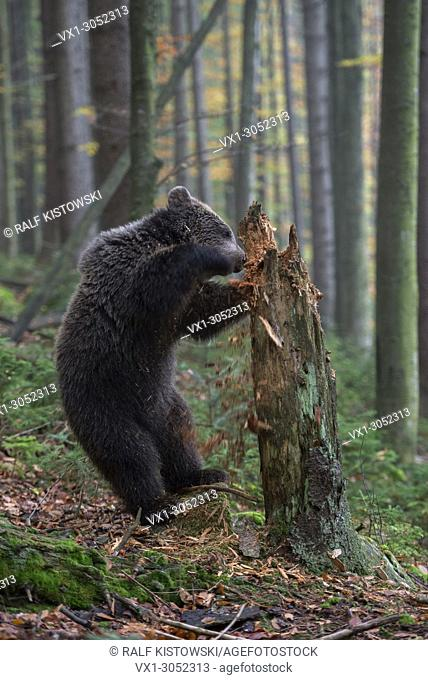 European Brown Bear (Ursus arctos ), cute cup, stands on its hind legs, exploring a rotten tree trunk, searching for food