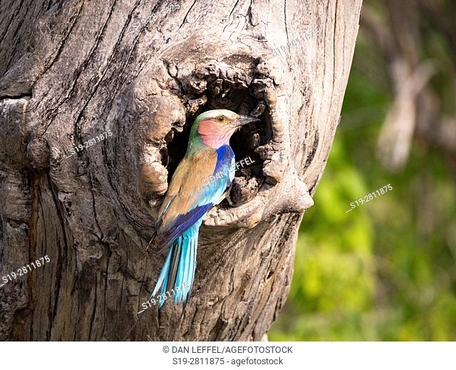 Botswana. Lilac Breasted Roller