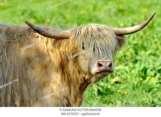 Scottish Highland Cattle or Kyloe (Bos primigenius f. taurus) in a meadow