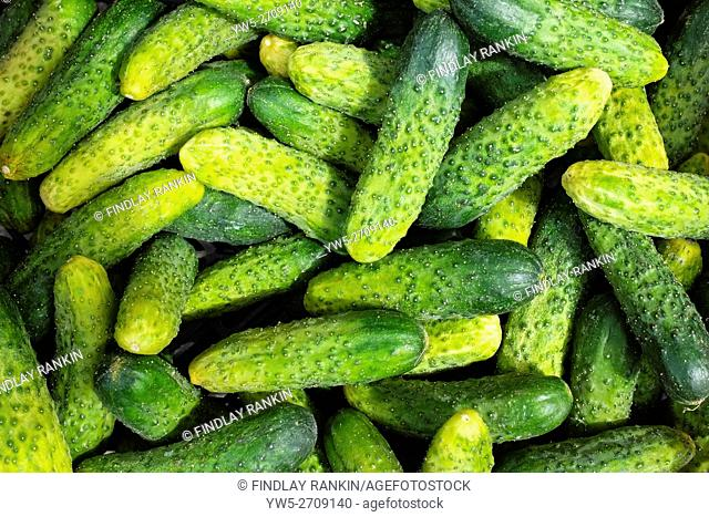 Ogurek, a Polish vegetable, similar to a cucumber