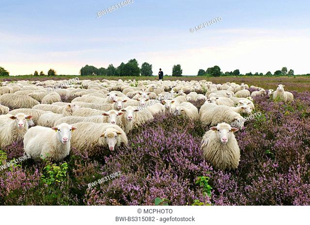White Hornless Heath Sheep (Ovis ammon f. aries), shepherd with herd in the heathlands at the moor, Germany, Lower Saxony, Diepholzer Moorniederung