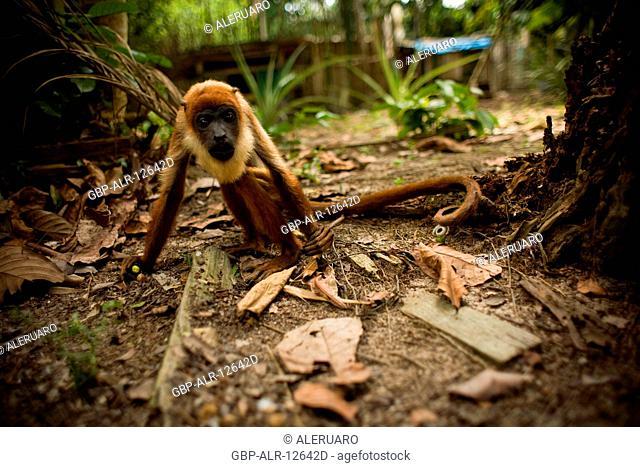 Monkey Guariba, Barreirinha Community, Cuieiras River, Amazônia, Manaus, Amazonas, Brazil