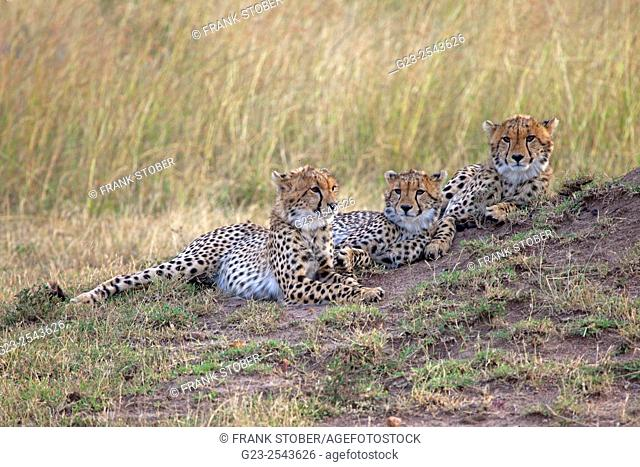 Three young cheetah. Maasai Mara National Reserve, Kenya
