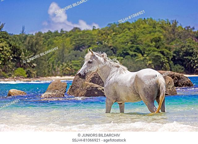 Seychelles Pony. Gray adult standing in the sea. Seychelles