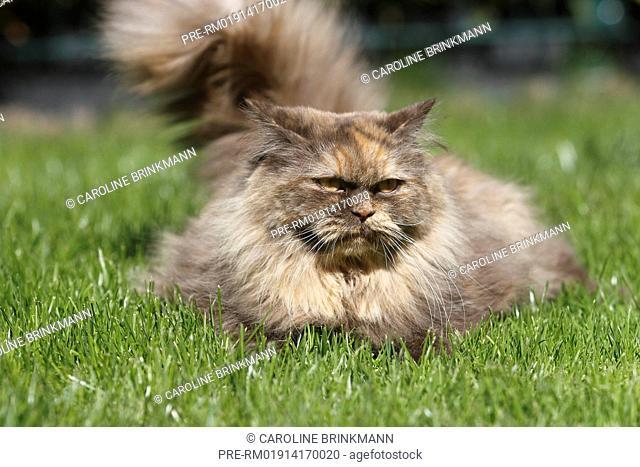 British Longhair, cat / Britisch Langhaar, Katze