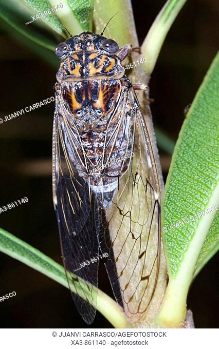 Cicada on Nerium oleander branch, Turia river natural park, Valencia province, Comunidad valenciana, Spain