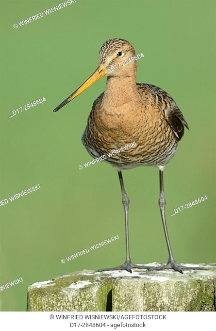 Black-tailed godwit (Limosa limosa) perched on fence post, Island of Texel, The Netherlands
