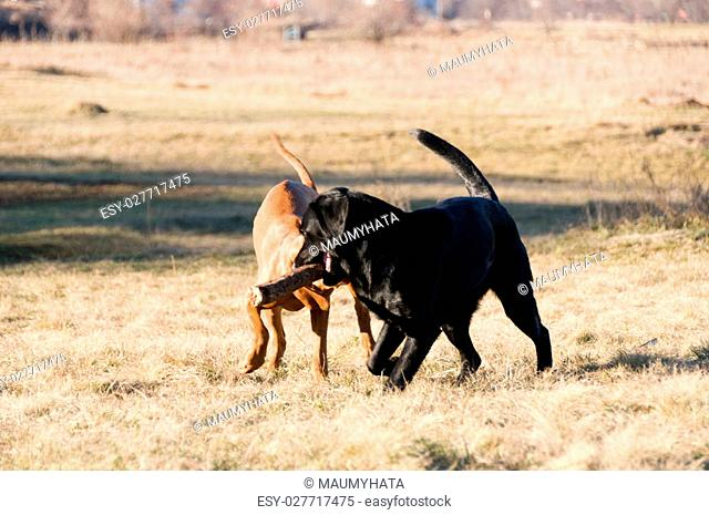 two dogs competing over a stick. Running battle