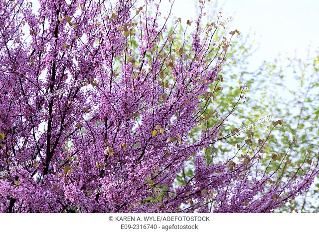 flowering redbud tree, other tree soft-focus in background, Monroe County, Indiana