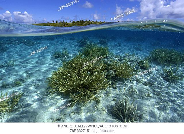 Split image of staghorn coral, Acropora sp. , and uninhabited island, Ailuk atoll, Marshall Islands, Pacific
