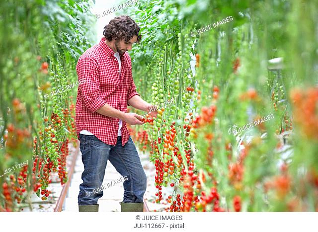 Worker inspecting vine tomato plants in greenhouse