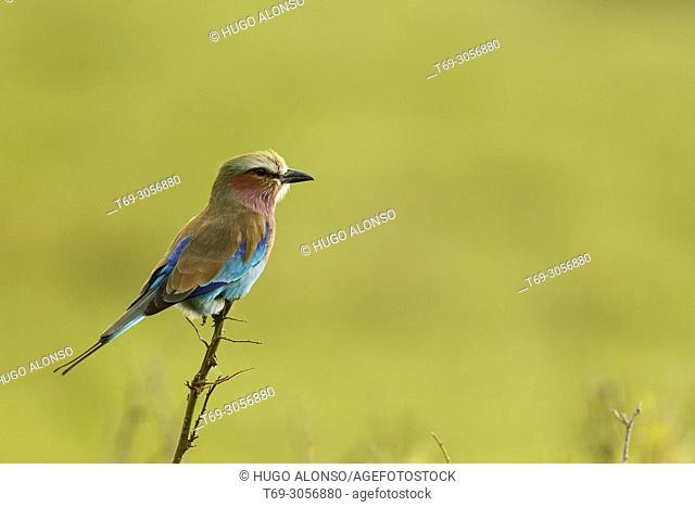 Abyssinian roller. Coracias abyssinicus. Kenia. Africa