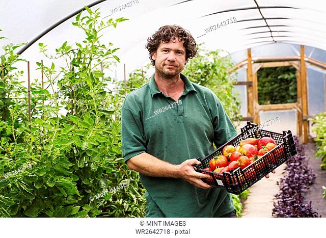 Male gardener in a polytunnel and a crate of freshly picked tomatoes