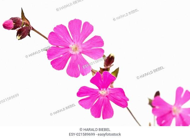 Rote Lichtnelke (Silene dioica)
