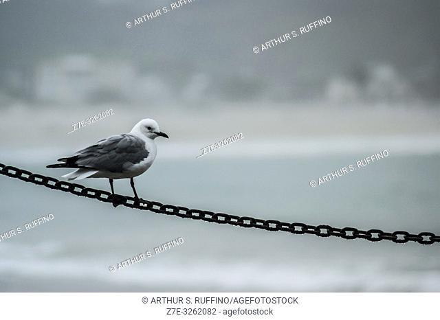 Cape gull (Larus dominicanus vetula) perched on a chain. South Africa