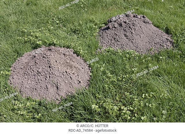 European Mole hills in lawn North Rhine-Westphalia Germany Talpa europaea