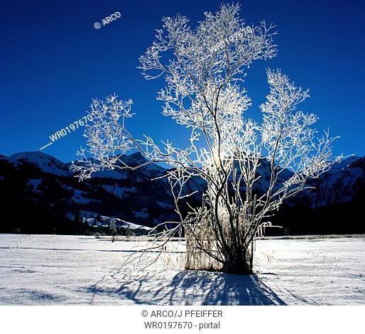 Hoarfrost, covered, Tree, Gstaad, Switzerland