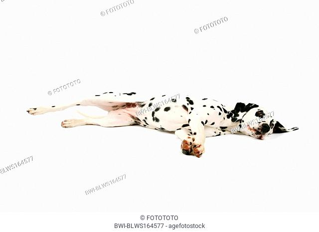 Dalmatian Canis lupus f. familiaris, lying on the ground