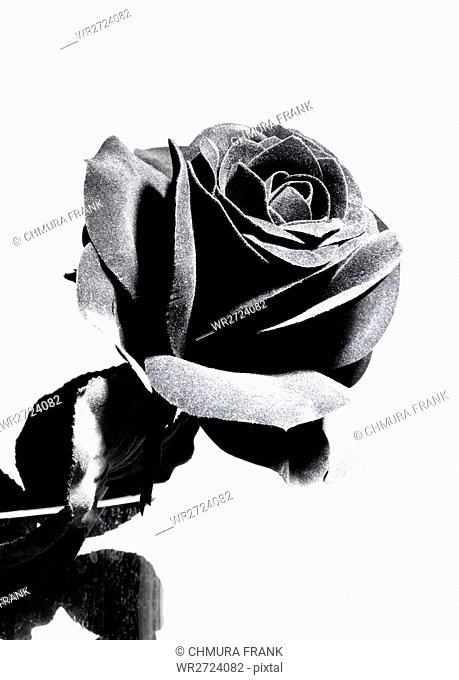 Black Artificial Rose - Isolated on White