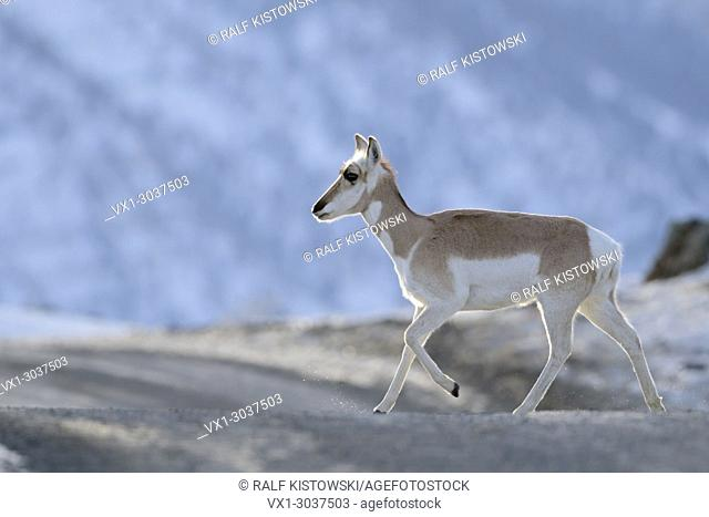 Pronghorn ( Antilocapra americana ) in winter, young animal crossing an icy dirt road, nice backlight situation, Yellowstone NP, Montana, USA