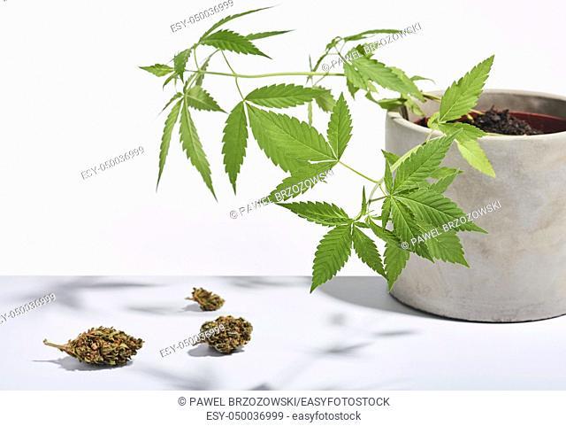 Marijuana buds and marijuana bush isolated on white background. Studio shot