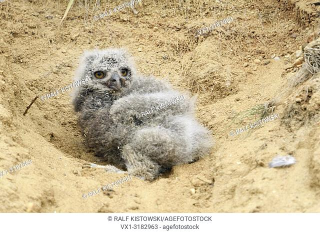 Eurasian Eagle Owl ( Bubo bubo ), very young chick, fallen out of its nesting burrow in a sand pit, helpless, cute, wildlife, Europe
