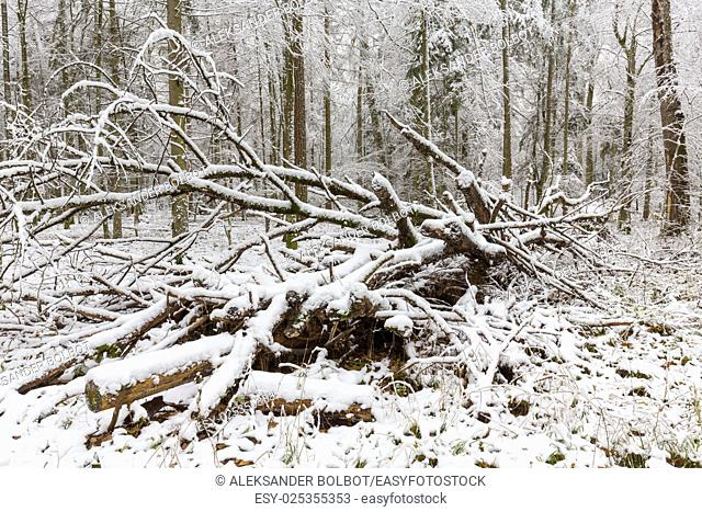 Winter landscape of natural forest with dead poplar tree trunk lying, Bialowieza Forest, Poland, Europe