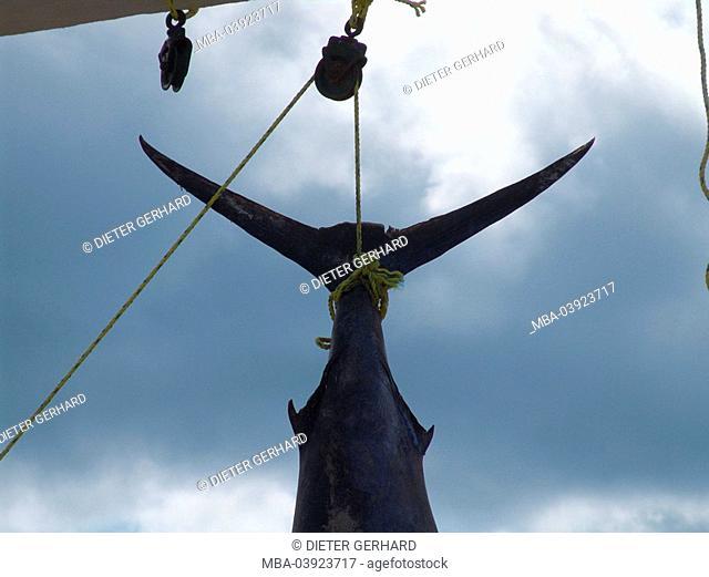 Mexico, Yucatan, haul, open sea-fishing, Marlin, detail, Central America, beach, harbor, rope, fish, catch, success, big, open sea-fishing rods, fishing rods