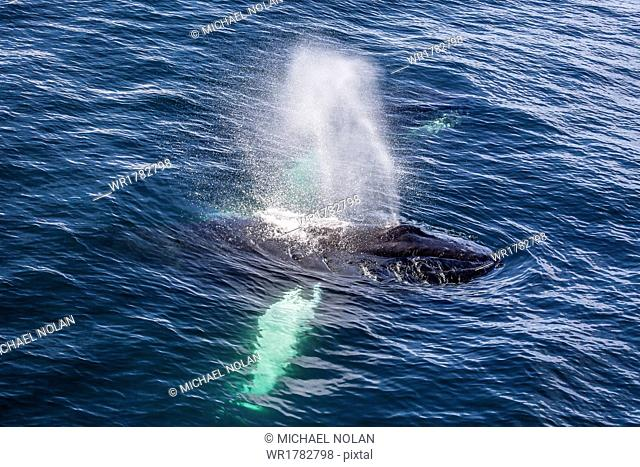 Adult humpback whale (Megaptera novaeangliae) feeding off the west coast of Spitsbergen, Svalbard, Arctic, Norway, Scandinavia, Europe