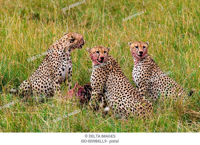 Cheetah (Acinonyx jubatus) eating Wildebeest kill, Masai Mara National Reserve, Kenya