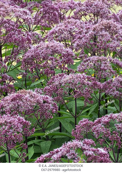 """Eupatorium maculatum or Joe Pye weed """"""""Gateway"""""""" in garden border"""