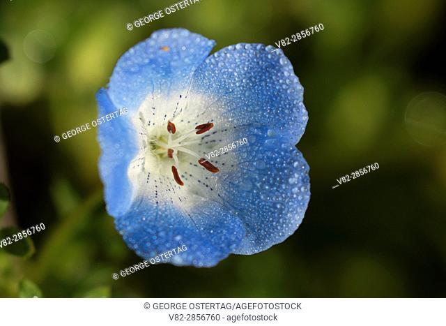 Baby blue eyes (Nemophila menziesii), Carrizo Plain National Monument, California